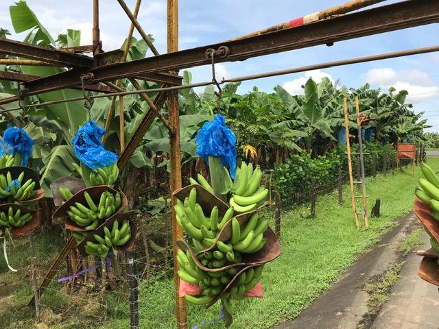 Costa-Rica-Bananenplantage