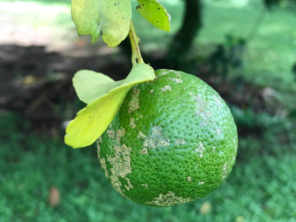Costa-Rica-Limone-