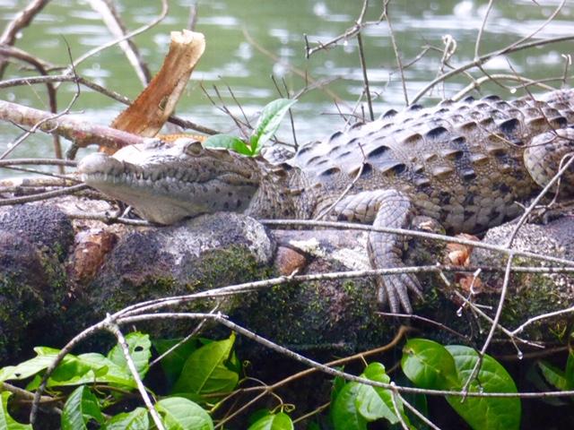 Costa-Rica-Regenwald-Krokodil