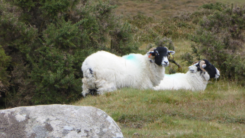Darthmoor-Schafe